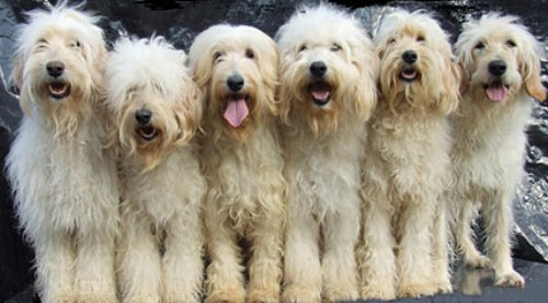 facts about labradoodles