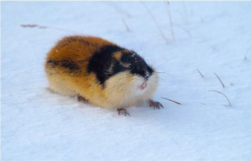 Cute Lemming
