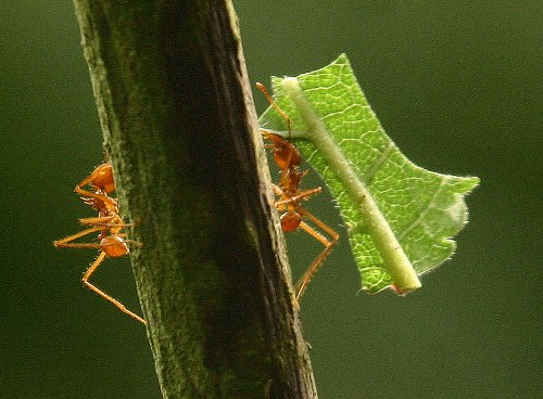 Facts about Leaf Cutter Ants