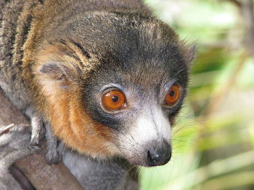 Facts about Lemurs