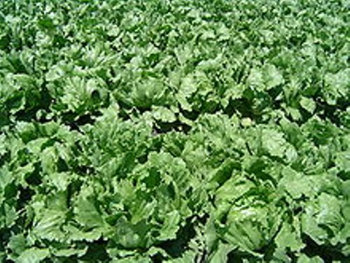 Facts about Lettuce