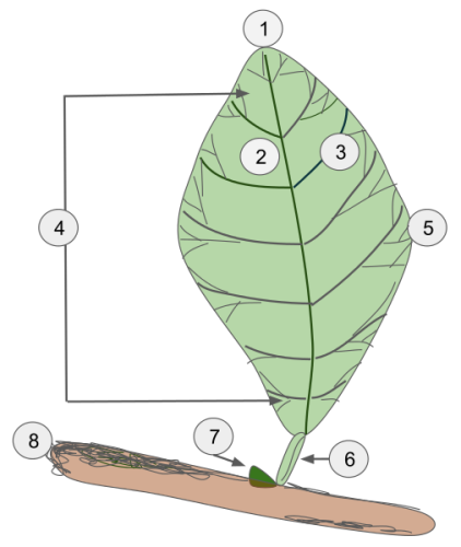 Fun Facts about Leaves
