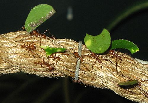 Leaf Cutter Ant Pictures