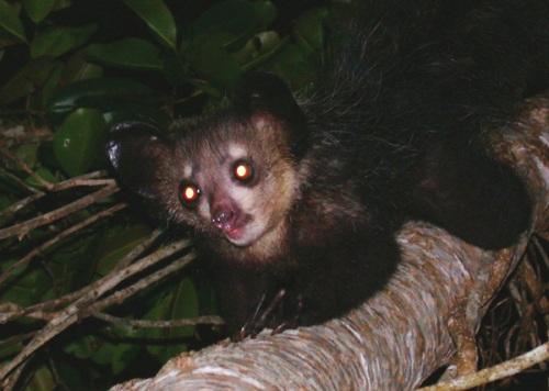 Lemurs Eyes