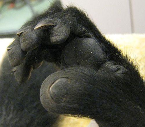 Lemurs Foot