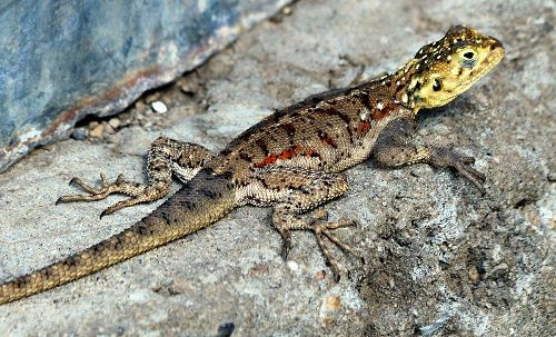 Facts about Lizards