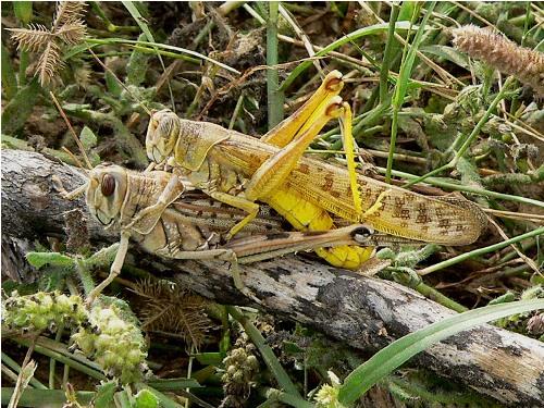 Locusts Facts