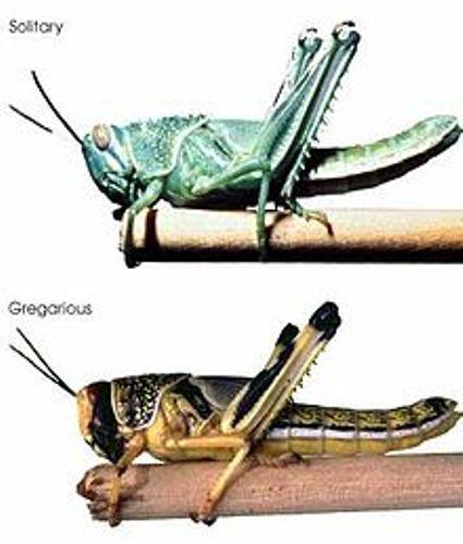 Locusts Image