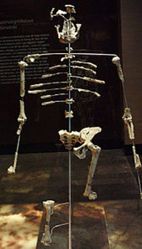 Facts about Lucy the Australopithecus