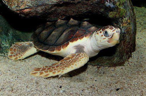 Loggerhead Turtles Facts