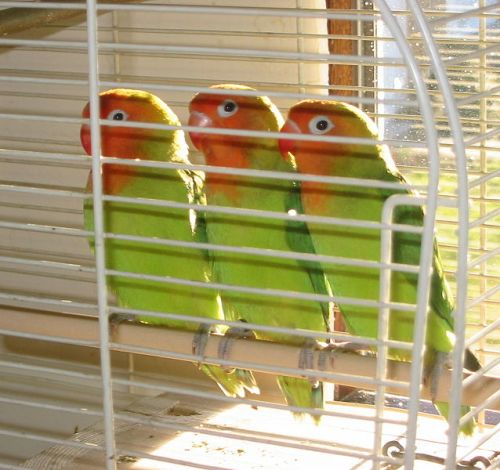 Lovebirds Pic