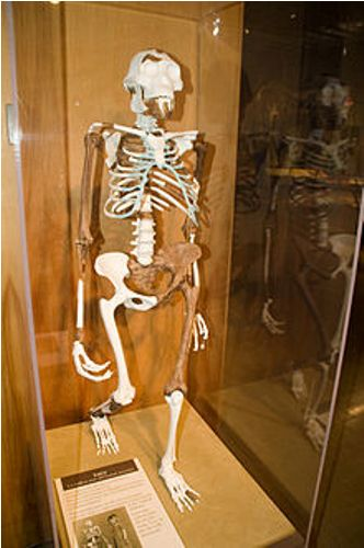 Lucy the Australopithecus Facts