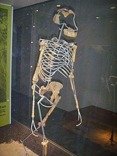 Lucy the Australopithecus Replica