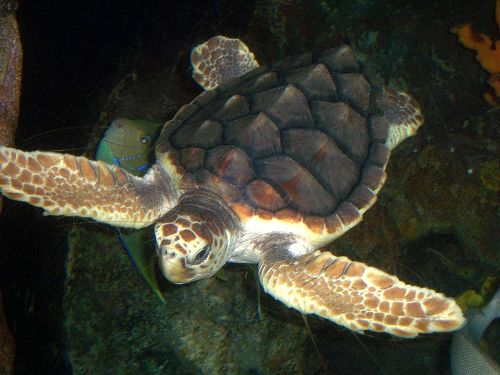 facts about Loggerhead Turtles
