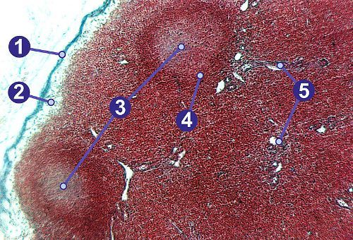 Facts about Lymph Nodes
