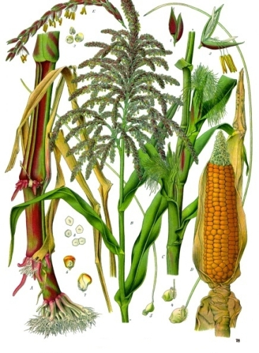 Maize Facts