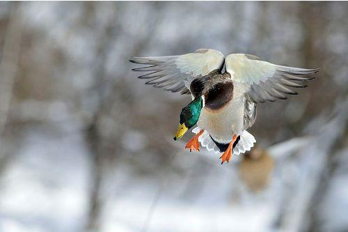 Facts about Mallard Ducks