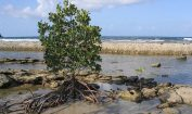 Facts about Mangrove Trees