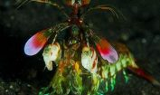 Facts about Mantis Shrimp