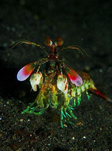 Facts about Mantis Shrimp