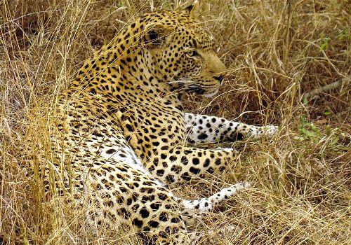 Mammals Leopard