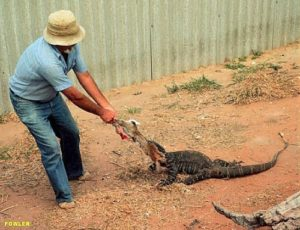 facts about lace monitors