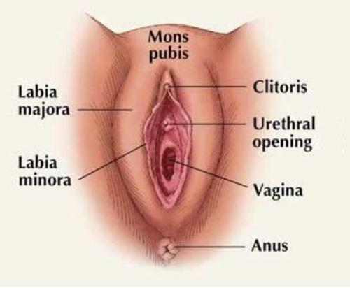labia minora facts