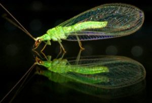 lacewings pic