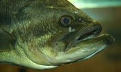 facts about largemouth bass