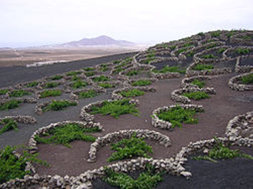 lanzarote grape vines