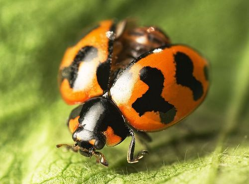 facts about ladybugs