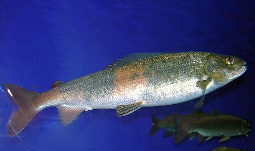 lake baikal fish