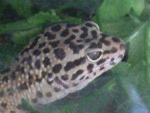 Leopard Geckos Images