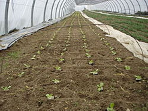 lettuce in green house