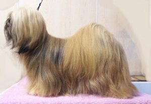 Facts about Lhasa Apso