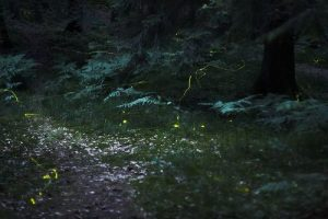 Facts about Lightning Bugs