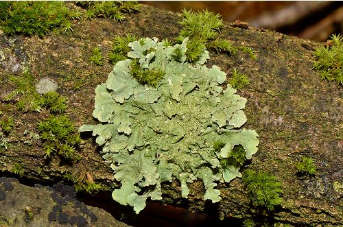 Lichen Image