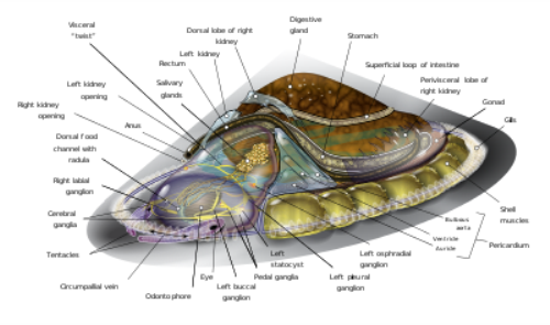 Limpets Anatomy