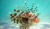 Facts about Lionfish