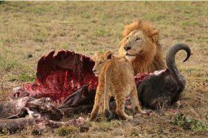 Facts about Lion's Habitat
