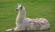 Facts about Llama