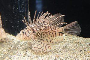 Lionfish Image