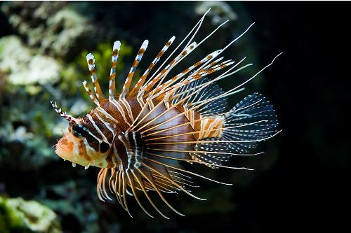 Lionfish Pic
