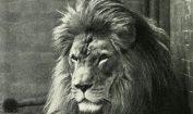 Lions Pic