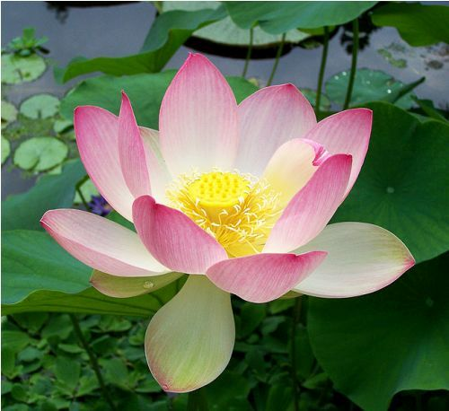 Facts about Lotus Flower