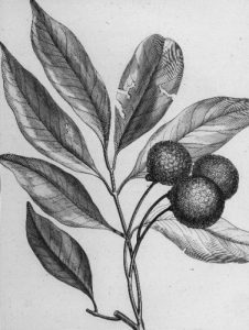 Facts about Lychee