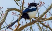 Facts about Magpies