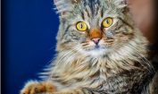 Facts about Maine Coon Cats