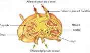 Lymph Node