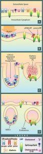 Lysosome Image